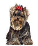 Yorkshire Terrier, 8 gammala som månader sitter Arkivfoto