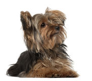 Yorkshire Terrier, 8 months old Stock Photography