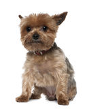 Yorkshire Terrier, 8 years old, sitting Royalty Free Stock Photos