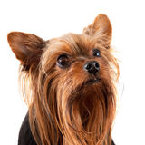 Yorkshire terrier. Little dog of breed Yorkshire terrier Stock Photo
