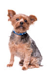 Yorkshire Terrier Images libres de droits