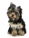 Yorkshire terrier. Sitting yorkshire terrier. White background Royalty Free Stock Photos