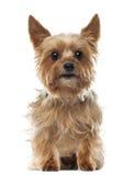 Yorkshire terrier, 9 anos velho, sentando-se imagem de stock royalty free