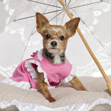Yorkshire Terrier, 9 gammala som år sitter Royaltyfria Foton