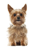 Yorkshire Terrier, 9 years old, sitting Royalty Free Stock Image