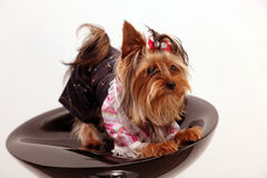 Yorkshire terrier. (5 months) in front of a white background on a black chair Royalty Free Stock Photo