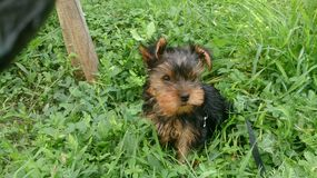 Yorkshire Terrier royalty-vrije stock foto