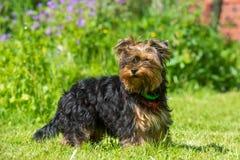 Yorkshire Terrier Royalty-vrije Stock Fotografie