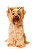 The Yorkshire Terrier. Isolated on white Stock Photos