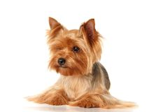 The Yorkshire Terrier. This is a Yorkshire Terrier isolated on white background Royalty Free Stock Photos