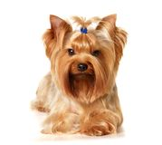 The Yorkshire Terrier. This is a Yorkshire Terrier isolated on white background Royalty Free Stock Image