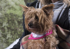 Yorkshire terrier abandoned outdoors Royalty Free Stock Image