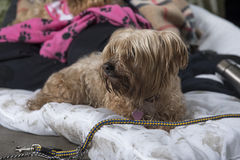 Yorkshire terrier abandoned outdoors Stock Photo