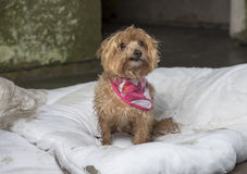 Yorkshire terrier abandoned outdoors Royalty Free Stock Images