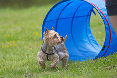 Yorkshire Terrier at the agility competition. Stock Photography