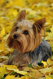 Yorkshire Terrier. The Yorkshire Terrier also known as Yorkie is a small dog, mainly bred as an in-house pet. It is gentle and friendly with children, yet agile royalty free stock photography
