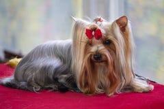 Yorkshire terrier antes do desempenho em uma exposição de cães imagens de stock royalty free