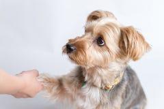 Yorkshire Terrier att ge sig tafsar Royaltyfria Bilder
