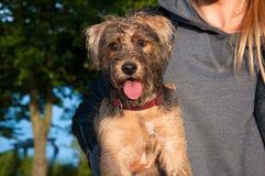 Yorkshire-Terrier auf den Händen seines Inhabers Lizenzfreies Stockbild