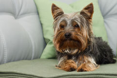 Yorkshire-Terrier Stockfoto