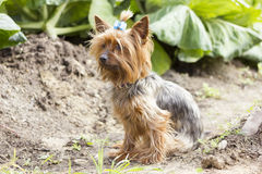 Yorkshire-Terrier auf einem Gehen Lizenzfreies Stockfoto
