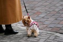 Yorkshire-Terrier auf einem Kopfstein Stockbild
