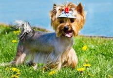 Yorkshire Terrier auf einem Rasen neben einem See Stockfotos