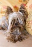 Yorkshire-Terrier auf gelben pilows Lizenzfreies Stockbild