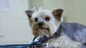 Yorkshire-Terrier auf Prüfung am Tierarzt der Hund setzte an das phonoscope und täuscht vor, ein Doktor zu sein Haustier-Gesundhe stock footage