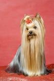 Yorkshire-Terrier auf rotem Hintergrund Stockbilder