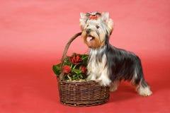 Yorkshire-Terrier auf rotem Hintergrund Stockfotografie