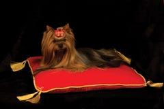 Yorkshire-Terrier auf rotem Kissen Stockfotos