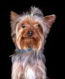 Yorkshire-Terrier auf schwarzem Hintergrund Stockbilder