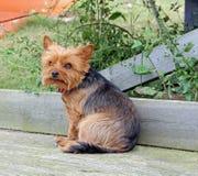 Yorkshire-Terrier auf Strandhütte Decking Stockfotografie