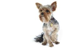 Yorkshire-Terrier auf Weiß Lizenzfreies Stockbild