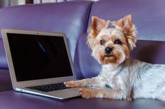 Yorkshire Terrier - bästa vän royaltyfria foton
