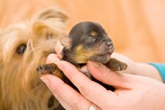 Yorkshire terrier baby pup Royalty Free Stock Photography