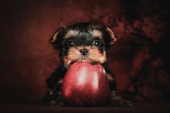 York puppy with an Apple on a brown background. royalty free stock photos
