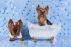 Yorkshire terrier badas i badrummet Arkivfoton