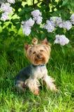 Yorkshire Terrier bajo ramas de la lila Imagenes de archivo