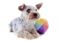 Yorkshire terrier and ball Stock Image