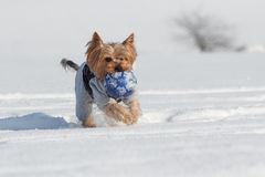 Yorkshire terrier with a ball Stock Photo