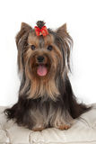 Yorkshire terrier on banquette. Stock Photo