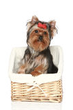 Yorkshire Terrier in basket Royalty Free Stock Photo