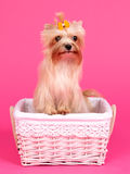 Yorkshire Terrier in a basket Royalty Free Stock Image