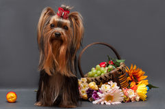 Yorkshire terrier and a basket of flowers Stock Photos