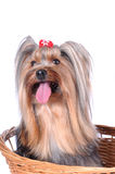 Yorkshire terrier in the basket isolted on white Royalty Free Stock Photos