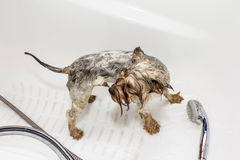 Yorkshire Terrier bathe in a bathtub Stock Photos