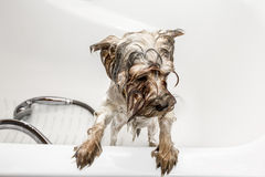 Yorkshire Terrier bathed in a bathtub Royalty Free Stock Photo