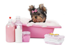 Yorkshire terrier bathing in a bubble bath. Yorkshire terrier dog bathing in a bubble bath isolated on white background royalty free stock image